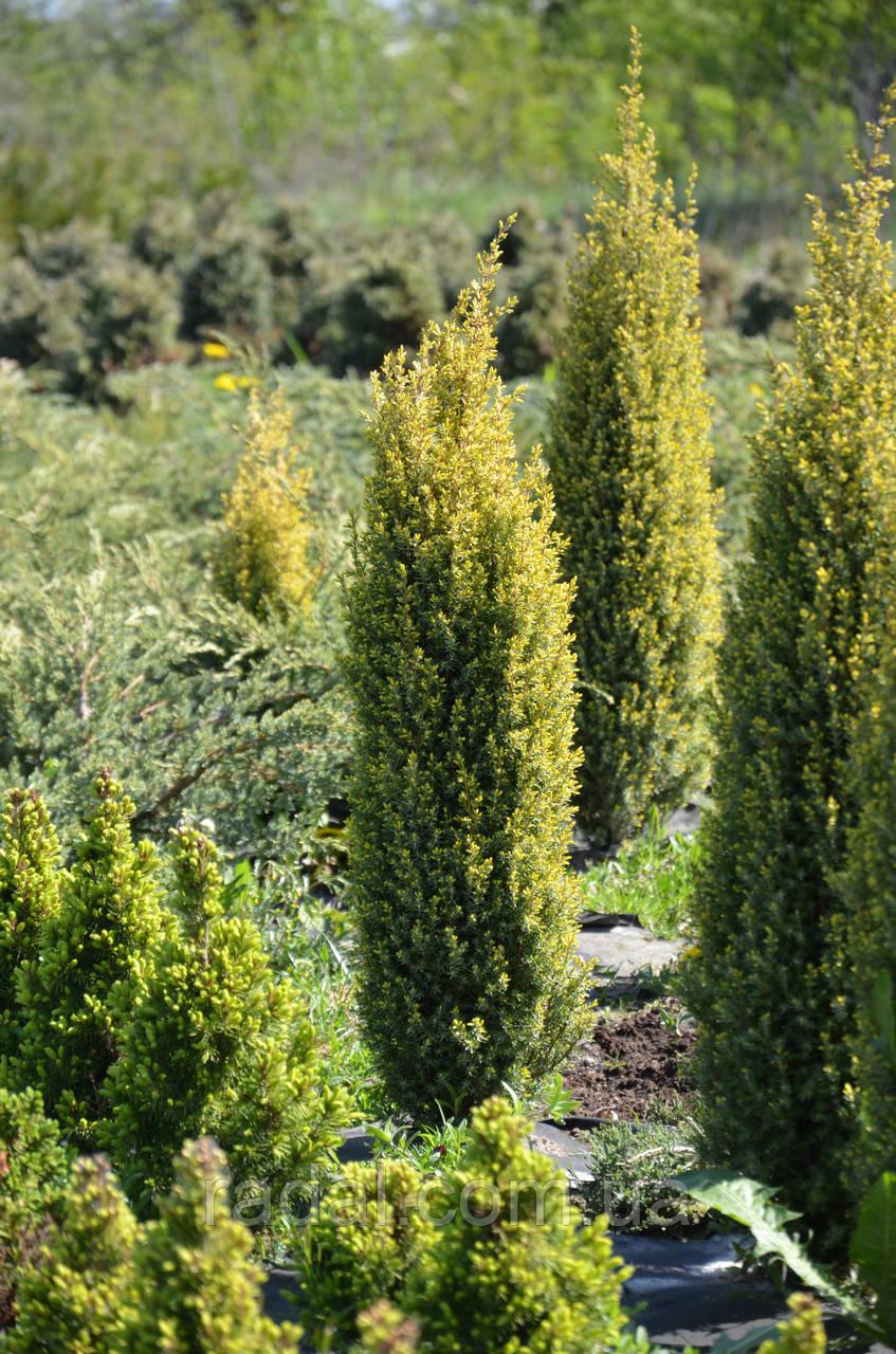 Ялівець звичайний Голд Коні L2 ( Juniperus communis Gold Cone )
