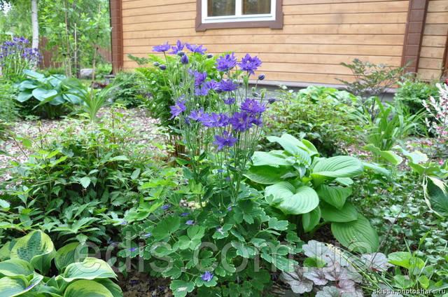 Аквилегия в саду фото