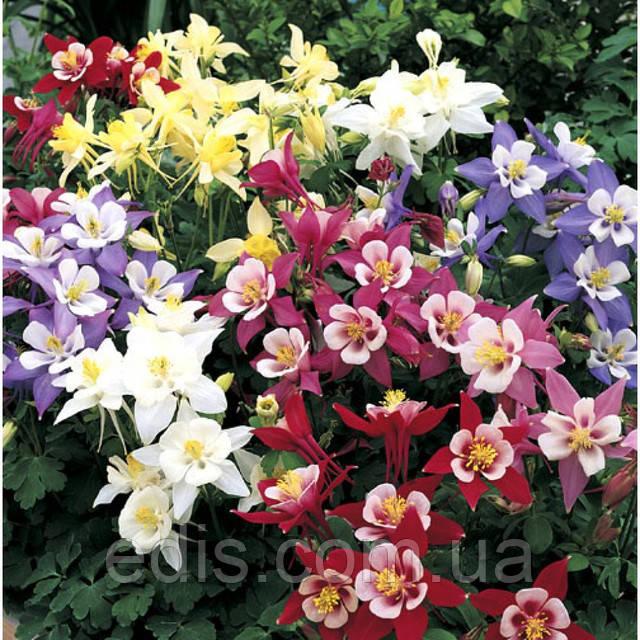 Цветы аквилегии фото