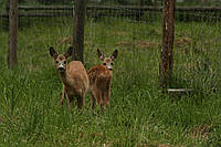 Домашня ручна козуля або косуля самці та самки