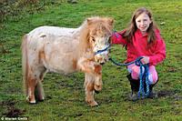 Шотландский пони, ручной карликовый пони