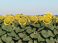 Семена подсолнечник гибрид
