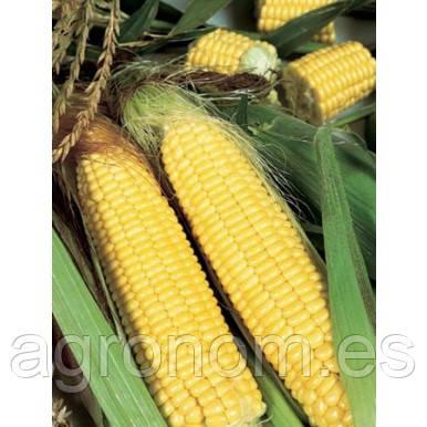 Насіння кукурудзи цукрової Трофі F1 5000 насіння Seminis