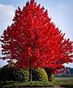 Клен красный Acer rubrum
