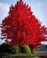 Клен красный Acer rubrum, фото 1