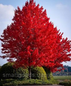 Клен красный Acer rubrum саженцы, фото 1