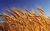 Світовий попит на українську пшеницю зростає