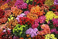 Хризантема садовая в ассортименте (черенок)