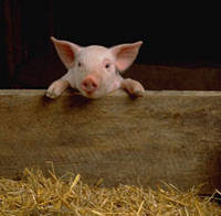 Готовий предстартерний корм для молодняка с/г тварини (поросят и телят) YouPig 28-25%