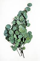 Популус эвкалипт (зеленый)