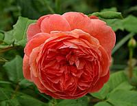 Роза английская Саммер Сонг/Summer Song