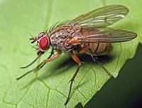 Осторожно! Капустная муха.