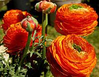 Лютик оранжевый (ранункулюс), 5 клубней