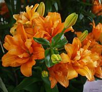 Лилия махровая Orange Twins