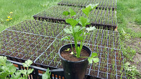 выращивание рассады.