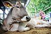 Синдром «мобілізації жиру» - загроза високій продуктивності молочних корів