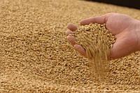 У Бангладеш відхилили прийом 50 тис. т. російської пшениці через низьку якість