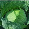 Капуста белокочанная Бронко Bejo Zaden 2.5 тыс семян