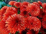 Хризантема мультифлора Маскулино оранж, фото 2