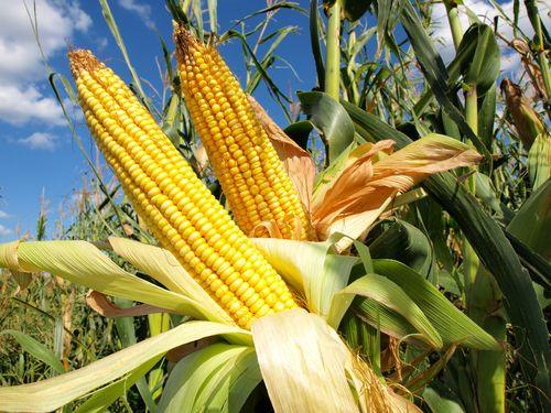 Гербицид «Гербоник» (Милагро) для кукурузы