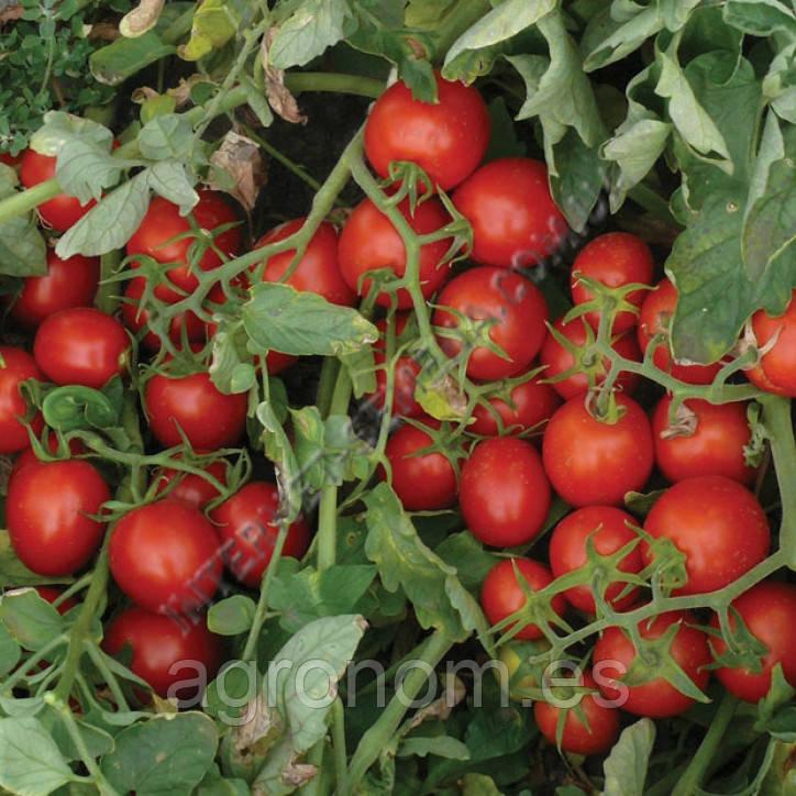Семена томата 2206 F1 500 семян Lark Seeds