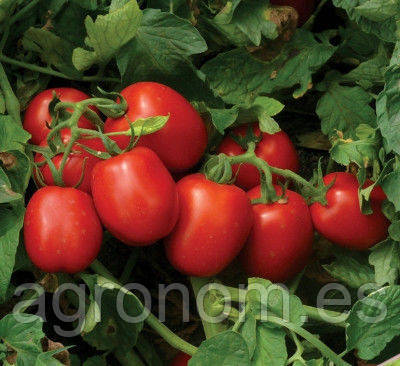 Семена томата 1015 F1 5000 семян Lark Seeds