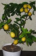 "Лимонелла (Лаймкват) ""(Citrus aurantiifolia x Fortunella sp.)"" Комнатный плодовый"