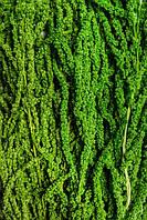 Амарант (зеленый)