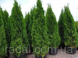 Туя западная Смарагд Р9 23-27 (Thuja occidentalis Smaragd )