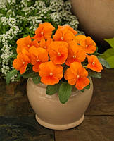 Фиалка рогатая Grandissimo Clear Orange F1, Sakata 1 000 семян