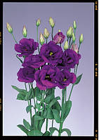 Роза (Эустома) Echo Blue F1, Sakata 1 000 драже