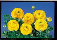 Лютик азиатский Bloomingdale Golden Shades F1, Sakata 1 000 семян