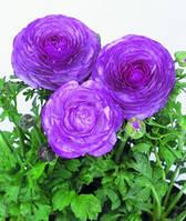Лютик азиатский Bloomingdale Lavender Shades F1, Sakata 1 000 семян