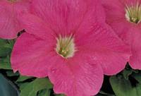 Петуния крупноцветковая Eagle Pink F1, Sakata 1 000 драже