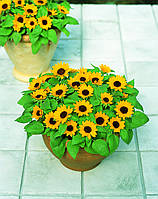 Подсолнечник декоративный Sunbright Kids, Sakata  1 000 семян