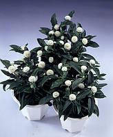Гомфрена gnome white, sakata 1 000 семян