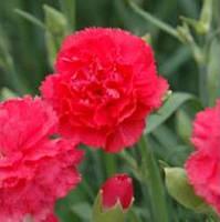 Гвоздика Can Can Rose F1, Sakata 1 000 семян