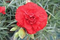 Гвоздика Can Can Scarlet F1, Sakata 1 000 семян