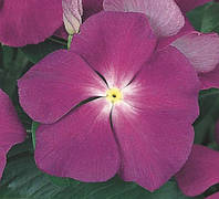 Барвинок розовый Victory Blue, Sakata 1 000 семян