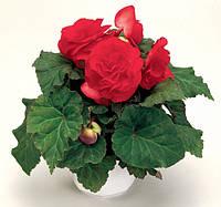 Бегония клубневая fortune dark rose f1, sakata 1 000 семян