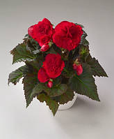 Бегония клубневая fortune deep red f1, sakata 1 000 семян