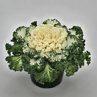 Капуста декоративная Nagoya White F1, Sakata 1 000 семян
