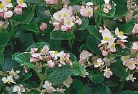 Бегония вечноцветущая Inferno Apple Blossom F1, Sakata 1 000 семян