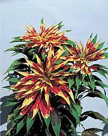 Амарант трехцветный tricolor splendens perfecta, sakata 1 000 семян