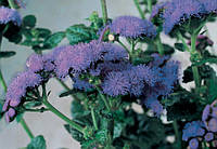 Агератум Хоустона Horizon Blue F1, Sakata 1 000 семян
