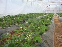Технология выращивания земляники в теплицах в почве