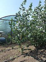 Саженец. саженцы берёзы. деревьев 2х 3х летних