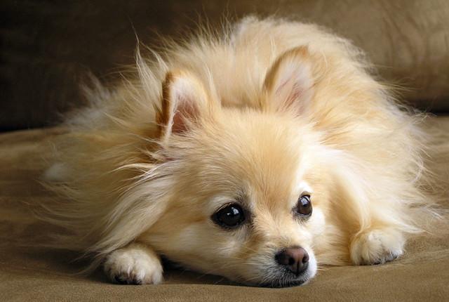 Корм для мини-собак привередливых к еде Royal Canin Mini Exigent