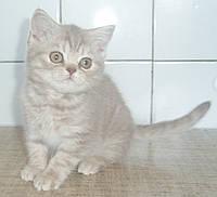 Британские котята от питомника UA*Busyabri