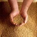 Посевные семена сои ГМО